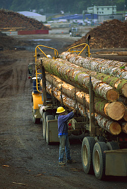 Logging truck driver unloading at log yard, forestry industry, Oregon  -  Davo Blair/ Auscape