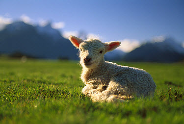 Domestic Sheep (Ovis aries), merino lamb resting in field, wool is used to make clothing, Australia  -  Mike Langford/ Auscape