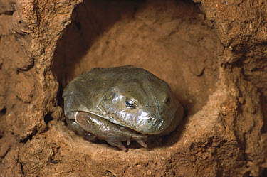 Water-holding Frog (Cyclorana platycephala) underground in skin before rain, central Australia  -  D. Parer & E. Parer-Cook