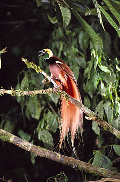 Raggiana Bird-of-paradise (Paradisaea raggiana) male displaying, Papua New Guinea  -  D. Parer & E. Parer-Cook