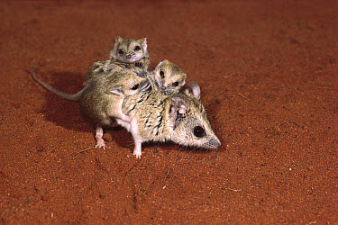 Stripe-faced Dunnart (Sminthopsis macroura) female and her young, central Australia  -  D. Parer & E. Parer-Cook