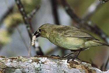 Woodpecker Finch (Camarhynchus pallidus) eating grub it has dislodged using tool, Santa Cruz Island, Galapagos Islands, Ecuador  -  D. Parer & E. Parer-Cook
