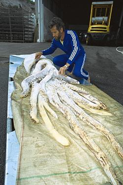 Humboldt Squid (Dosidicus gigas) dead specimen 12 meters in length, being inspected by Ben Cropp  -  Ben & Lynn Cropp/ Auscape