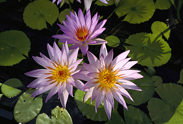 Cape Blue Water-lily (Nymphaea capensis), native to Africa, Asia and Australia  -  Jaime Plaza Van Roon/ Auscape