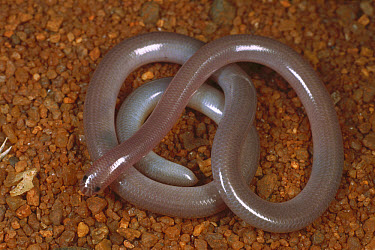 Blind Snake (Ramphotyphlops ammodytes) defensive posture using tail that looks like head to confuse predators, Redmont Camp, Western Australia  -  Greg Harold/ Auscape