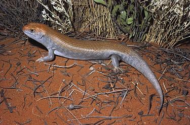 Great Desert Skink (Egernia kintorei) portrait, Northern Territory, Australia  -  Greg Harold/ Auscape