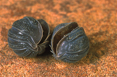 Woodlouse (Isopoda) pair rolled up for protection, near Tambourah Homestead, Western Australia  -  Greg Harold/ Auscape