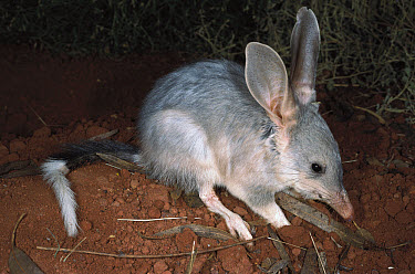 Bilby (Macrotis lagotis), Telfer, Western Australia  -  Greg Harold/ Auscape