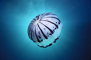Purple-striped Jellyfish (Chrysaora colorata) adult swimming off of Catalina Island, southern California, North America  -  Mark Spencer/ Auscape