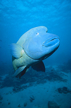 Double-headed Maori Wrasse (Cheilinus undulatus) portrait underwater, Outer Great Barrier Reef Marine Park, Queensland, Australia, World Heritage Site  -  Mark Spencer/ Auscape
