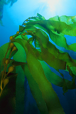 Giant Kelp (Macrocystis pyrifera) a frond that extends from the holdfast and floats on the surface with the aid of gas filled bladders at the base of each blade, corrugated for maximum photosynthesis,...  -  Mark Spencer/ Auscape