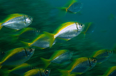 Eastern Pomfred (Schuettea scalaripinnis) school swimming swiftly, restricted to coastal waters of New South Wales, North Solitary Islands, Australia  -  Mark Spencer/ Auscape