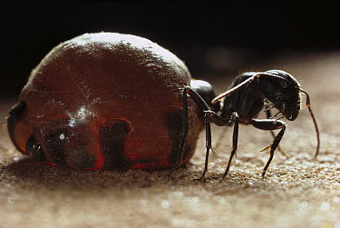 Honeypot Ant (Camponotus inflatus) replete is engorged with nectar which it will regurgitate on demand to other workers, Wallara, Northern Territory, Australia  -  Reg Morrison/ Auscape