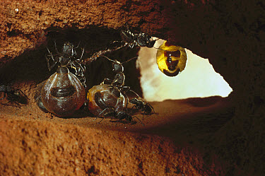 Honeypot Ant (Camponotus inflatus) repletes hanging from roof of larder, engorged with nectar they will regurgitate on demand to other workers, central Australia  -  Reg Morrison/ Auscape