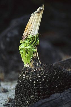 Grass Tree (Xanthorrhoea australis) re-growth after bushfire, Sydney, New South Wales, Australia  -  Reg Morrison/ Auscape