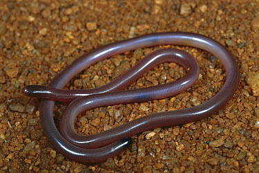 Black-tailed Blind Snake (Ramphotyphlops grypus) portrait, harmless burrowing snake that feeds on invertebrates, northwest of Abydos Homestead, Western Australia  -  Greg Harold/ Auscape