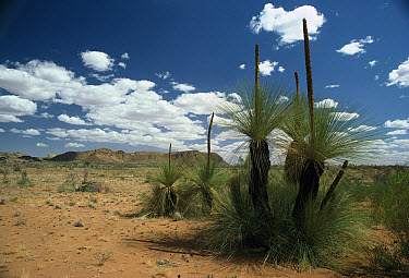 Grass Tree (Xanthorrhoea australis), Gosses Bluff in background, Northern Territory, Australia  -  Greg Harold/ Auscape