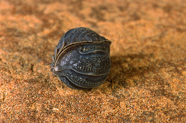 Woodlouse (Isopoda) rolled up into a protective ball, southwest of Tambourah Homestead, Western Australia  -  Greg Harold/ Auscape