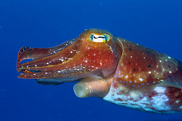 Broadclub Cuttlefish (Sepia latimanus) clearly showing the siphon through which cuttlefish expel water, providing jet propulsion when escaping a predator or launching an attack on prey, Great Barrier...  -  Dr. David Wachenfeld/ Auscape