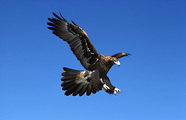 Wedge-tailed Eagle (Aquila audax) flying, coming in to land, occurs from southern New Guinea to Australia  -  Nicholas Birks/ Auscape