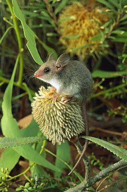 Western Pygmy Possum (Cercartetus concinnus) seated on a Banksia flower, South Australia  -  Nicholas Birks/ Auscape