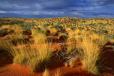 Spinifex Grass (Spinifex sp) Desert Oak (Allocasuarina decaisneana) and sand dunes, Canning Stock Route, Little Sandy Desert, Western Australia  -  Jean-Paul Ferrero/ Auscape