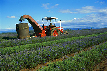 Lavender being cut, northeastern Tasmania, Australia  -  D. Parer & E. Parer-Cook