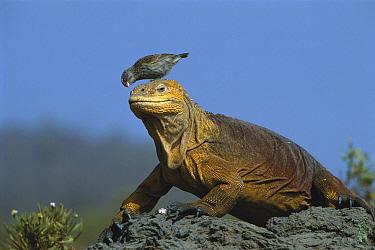 Galapagos Land Iguana (Conolophus subcristatus) with a Small Ground-Finch (Geospiza fuliginosa) on its head removing parasites, Galapagos Islands, Ecuador  -  D. Parer & E. Parer-Cook
