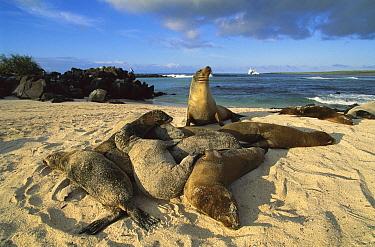 Galapagos Sea Lion (Zalophus wollebaeki) group on beach, Mosquera Island, Galapagos Islands, Ecuador  -  D. Parer & E. Parer-Cook