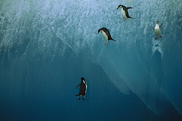Chinstrap Penguin (Pygoscelis antarctica) four jumping off blue iceberg into water below, Antarctica  -  Jean-Paul Ferrero/ Auscape