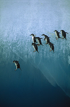 Chinstrap Penguin (Pygoscelis antarctica) group jumping off blue iceberg into water below, Sandwich Islands, Antarctica  -  Jean-Paul Ferrero/ Auscape