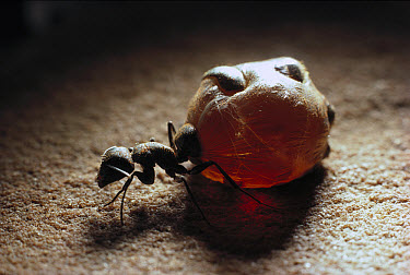 Honeypot Ant (Camponotus inflatus) replete engorged with nectar will regurgitate on demand to other workers, Wallara, Australia  -  Reg Morrison/ Auscape