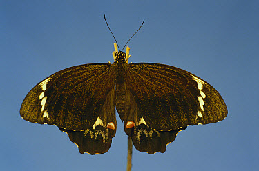 Citrus Swallowtail (Papilio xuthus) large male with wings spread, Australia  -  Roger Brown/ Auscape