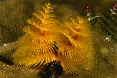 Christmas Tree Worm (Spirobranchus giganteus), Flinders Reef, Coral Sea, Australia  -  Becca Saunders/ Auscape