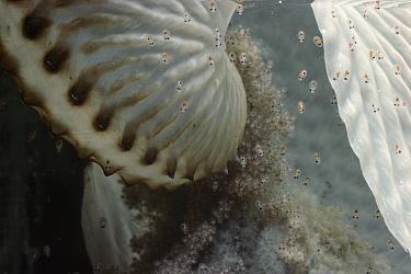 Paper Nautilus (Argonauta nodosa) eggs hatching, Port Phillip Bay, Victoria, Australia  -  D. Parer & E. Parer-Cook