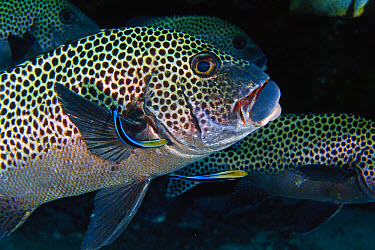 Blue-streaked Cleaner Wrasse (Labroides dimidiatus) cleaning a Spotted Sweetlips (Plectorhinchus chaetodonoides), Malaysia  -  Becca Saunders/ Auscape