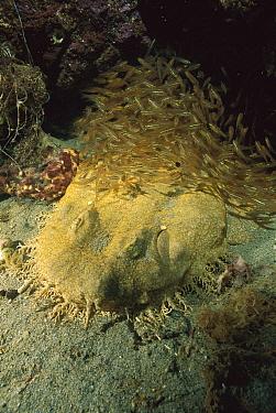 Tasselled Wobbegong (Orectolobus dasypogon) shark resting on ocean floor near schooling Luminous Cardinalfish (Rhabdamia cypselura), Australia  -  Kevin Deacon/ Auscape