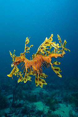 Leafy Sea Dragon (Phycodurus eques) endemic to southern Australian waters, Rapid Bay, South Australia  -  Mark Spencer/ Auscape