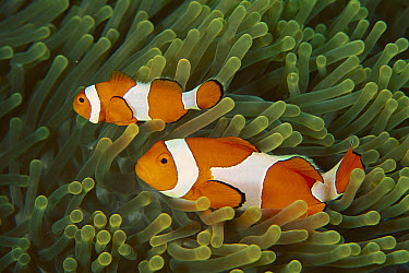 Clown Anemonefish (Amphiprion ocellaris) in host Magnificent Sea Anemone (Heteractis magnifica), Manado, Indonesia  -  Mark Spencer/ Auscape