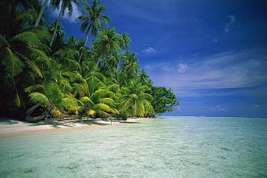 Palm tree lined beach on an island of New Ireland, Papua New Guinea  -  Kevin Deacon/ Auscape
