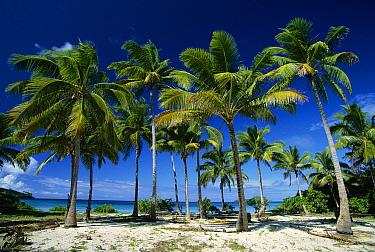 Coconut palms on beach, Taunga Island, Vava'u Group, Tonga  -  Jean-Marc La Roque/ Auscape