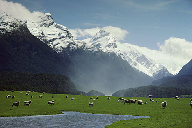 Domestic Sheep (Ovis aries) grazing at paradise flats, Mt Aspiring National Park, New Zealand  -  Mike Langford/ Auscape