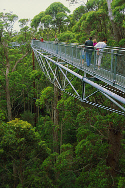 Tourists admiring the canopy on the Valley of the Giants treetop walk, Walpole-Nornalup National Park, Australia  -  Tim Acker/ Auscape