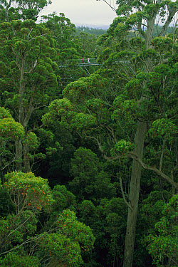 Tourists on the Valley of the Giants treetop walk, Walpole-Nornalup National Park, Western Australia  -  Tim Acker/ Auscape