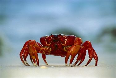 Christmas Island Red Crab (Gecarcoidea natalis) single crab on beach, close up, Christmas Island, Indian Ocean, Australian Territory  -  Jean-Paul Ferrero/ Auscape