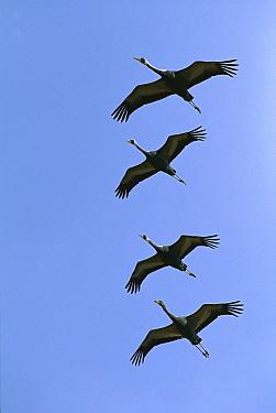 White-naped Crane (Grus vipio) flying, Arasaki Kagoshima Prefecture, Kyushu, Japan  -  Jean-Paul Ferrero/ Auscape