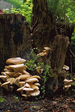 Fungus on stump, Ringwood, Victoria, Australia  -  Davo Blair/ Auscape