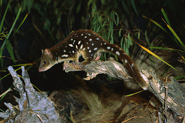 Spotted-tailed Quoll (Dasyurus maculatus) about to leap from log, Tasmania, Australia  -  D. Parer & E. Parer-Cook