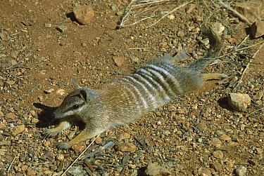 Numbat (Myrmecobius fasciatus) sunning, Dryandra State Forest, Western Australia  -  Jean-Paul Ferrero/ Auscape