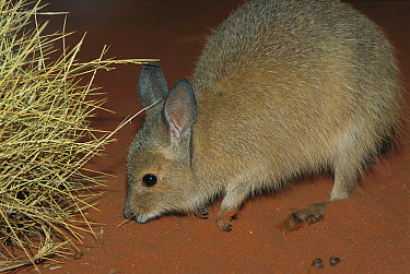 Rufous Hare-wallaby (Lagorchestes hirsutus) on red sand by Spinifex grass at night, Tanami Desert, Northern Territory, Australia  -  D. Parer & E. Parer-Cook